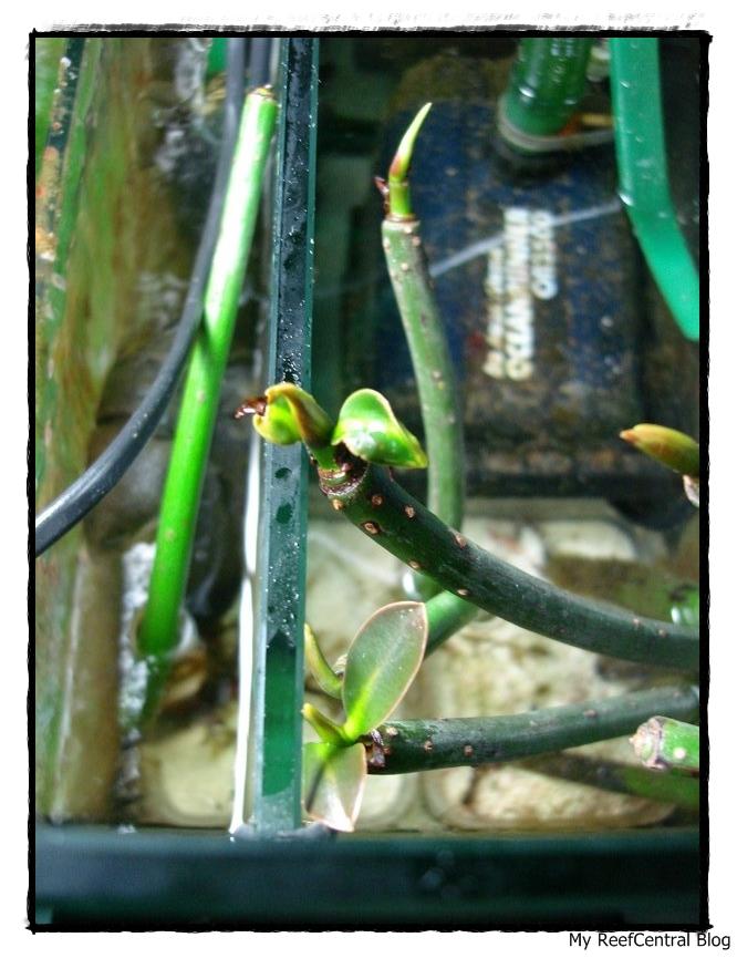 Refúgio: Mangues & Macro Alga Chaetomorpha (5/6)
