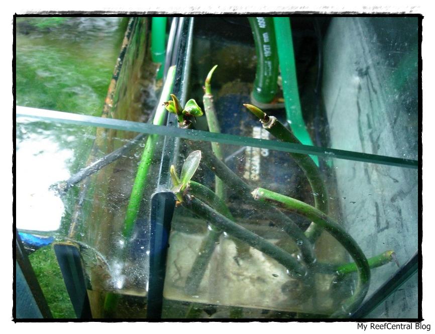Refúgio: Mangues & Macro Alga Chaetomorpha (6/6)