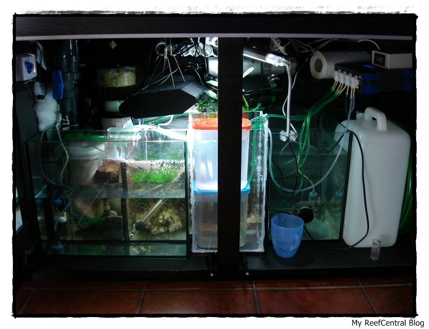 Refúgio: Mangues & Macro Alga Chaetomorpha (2/6)